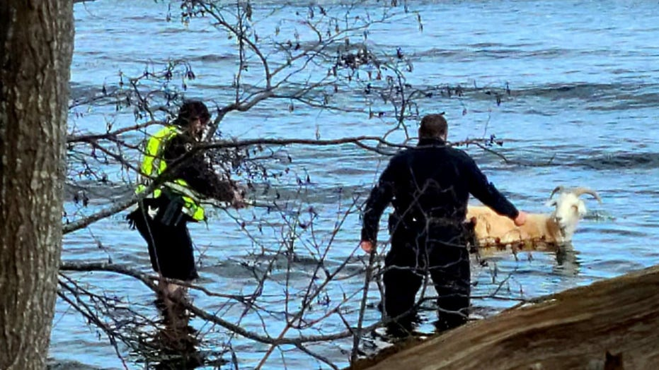 Police rescue pet goat from near-freezing water in Maine after it flees vet's office