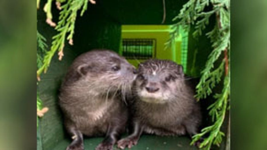 Recently widowed otters find love on dating app