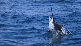 Fisherman catches 507-pound blue marlin backward off Hawaii