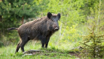 West Virginia announces 1st wild boar hunting lottery
