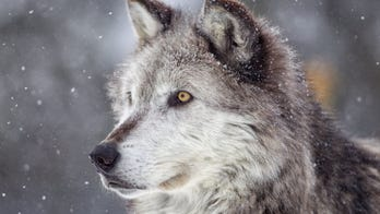 Wisconsin announces 1st wolf hunting season since 2014