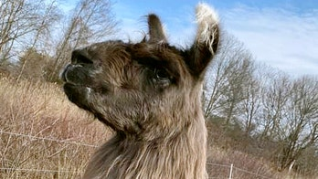 Wandering llama found off Massachusetts highway