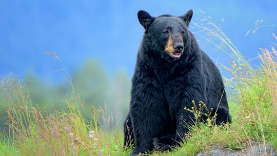Vermont reports record bear-hunting season in 2020