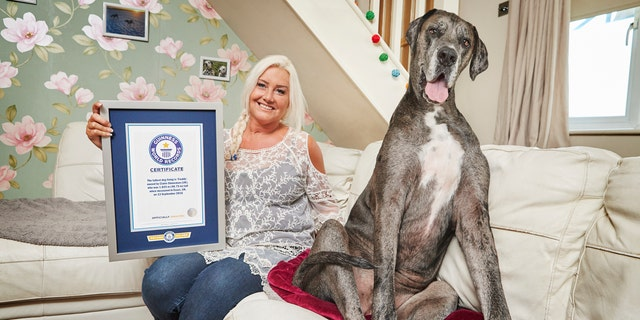 The 8-and-a-half-year-old Great Dane was 3 피트 4 inches tall from foot to withers. (Photo Credit: Paul Michael Hughes/Guinness World Records)