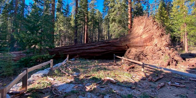 This photo provided by Yosemite National Park shows a fallen giant sequoia that came down during the Mono wind event on Tuesday, Jan.. 19, 2021 in Yosemite National Park. (Yosemite National Park via AP)