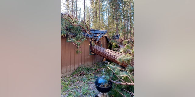 An incense-cedar that fell through a house in Wawona during the Mono wind event on Tuesday is pictured. (Yosemite National Park via AP)