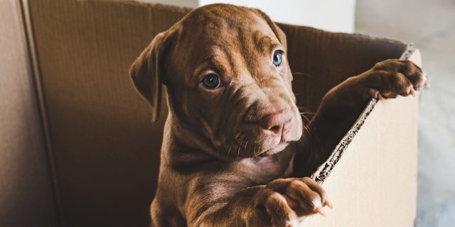 A police officer in New Jersey adopted an abandoned pit bull puppy (not pictured) that was found by other officers earlier this month. (iStock)