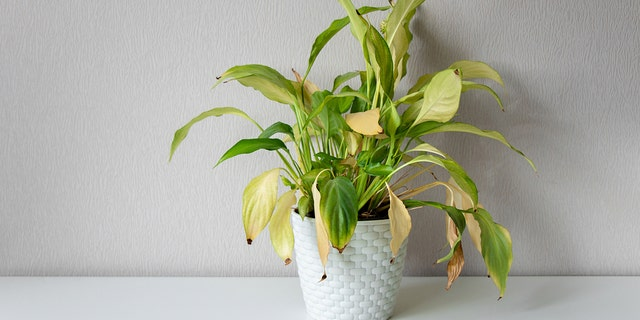 Yellowing leaves may be the result of several issues, including low light, not enough water, or even stress from repotting.