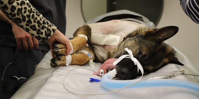 K9 Officer Arlo, a 3-year-old German Shepherd, was released from the hospital on Monday after he was shot last week.