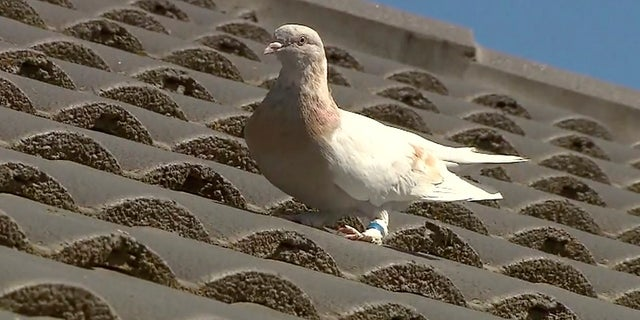A racing pigeon sits on a rooftop Wednesday in Melbourne, Australië, The racing pigeon, first spotted in late December 2020, has made an extraordinary 8,000-mile Pacific Ocean crossing from the United States to Australia. (AP/Channel 9)