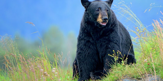 Missouri is home to about 800 black bears, most of which are found south of the Missouri River.
