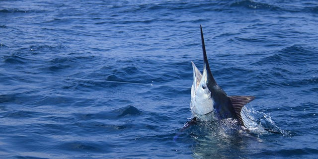A 507-pound blue marlin (not pictured) was caught off the coast of Kona, Hawaii, earlier this week. (iStock)