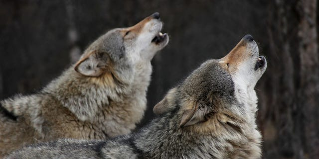 The bills include proposals such as expanding trapping seasons,including wolf licenses with big game combination licenses and even reclassifying the animals as predators.