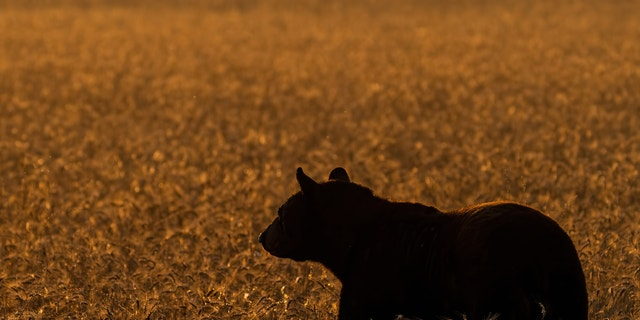 Through the last decade, the average number of bears taken annually in Vermont was 608.