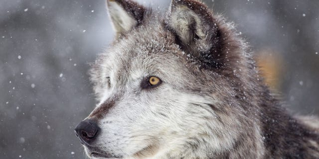 """The <a href=""""https://dnr.wisconsin.gov/topic/hunt/wolf/index.html"""" target=""""_blank"""">Wisconsin Department of Natural Resources</a> announced that it is planning a wolf harvest season for the fall of 2021."""