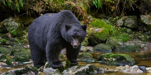 2020's total breaks the previous record, which was set in 2015 with 3,201 bears harvested.
