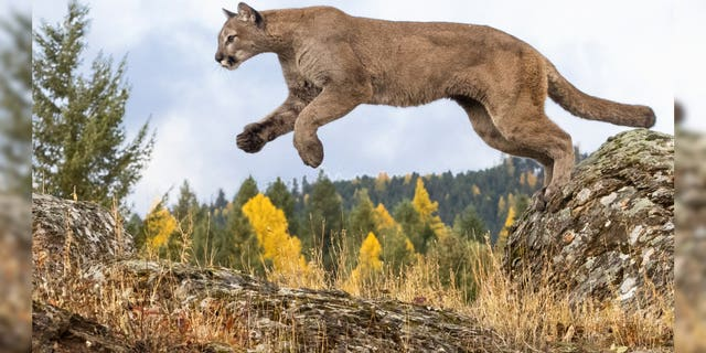 'Sick,' 'desperate' mountain lion spotted in Southern California town, could be 'dangerous'