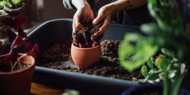 Plants may need to adjust after repotting, and some yellowing isn't uncommon.