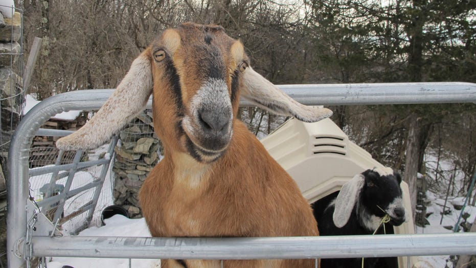 A goat and a dog were elected mayors as fundraiser for Vermont playground