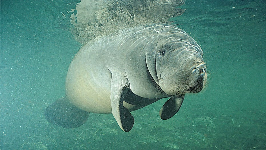 Feds investigating who scrawled 'TRUMP' on manatee's back in Florida