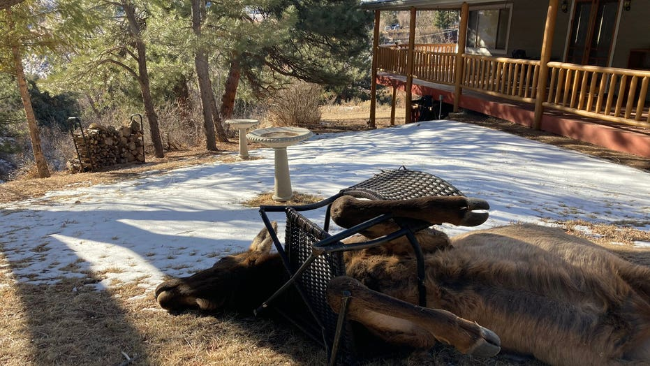 Colorado wildlife officials rescue elk tangled in frame of lawn chair