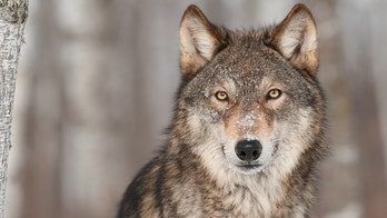 Pup births hopeful sign for wolves in Isle Royale, Michigan: scientists