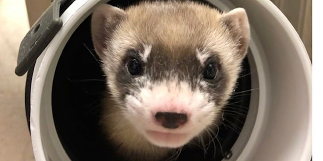 In this photo provided by the U.S. Fish and Wildlife Service is Elizabeth Ann, the first cloned black-footed ferret and first-ever cloned U.S. endangered species, at 50 days old on Jan. 29, 2021. Scientists have cloned the first U.S. endangered species, a black-footed ferret duplicated from the genes of an animal that died over 30 years ago. They hope the slinky predator named Elizabeth Ann and her descendants will improve the genetic diversity of a species once thought extinct but bred in captivity and reintroduced successfully to the wild. (U.S. Fish and Wildlife Service via AP)