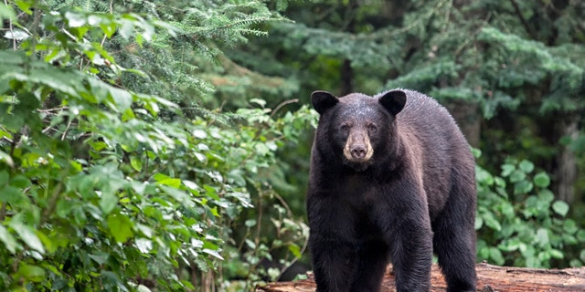 Pennsylvania hunters harvested 3,608 black bears during the 2020 seasons, which is the state's second-highest harvest over the last five years. (iStock)