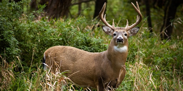 Ohio hunters harvested 197,735 white-tailed deer over the 2020-2021 season. (iStock)