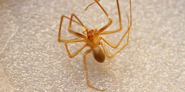 The Mediterranean recluse spider has necrotic venom that cancause minor skin irritation to tissue death, according to experts. - File Photo