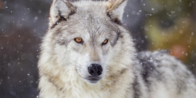 As of 3 p.m. on Thursday, the Wisconsin DNR confirmed that quotas had been exceeded in all six hunting zones, for a total of 216 wolves taken — a number far exceeding the 119 limit originally set by the DNR.