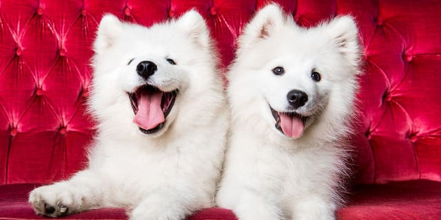 A Samoyed is a medium-sized herding dog with distinct thick, white fur. (iStock)