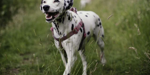 A Dalmatian is a large-sized and spotted hunting dog. (iStock)