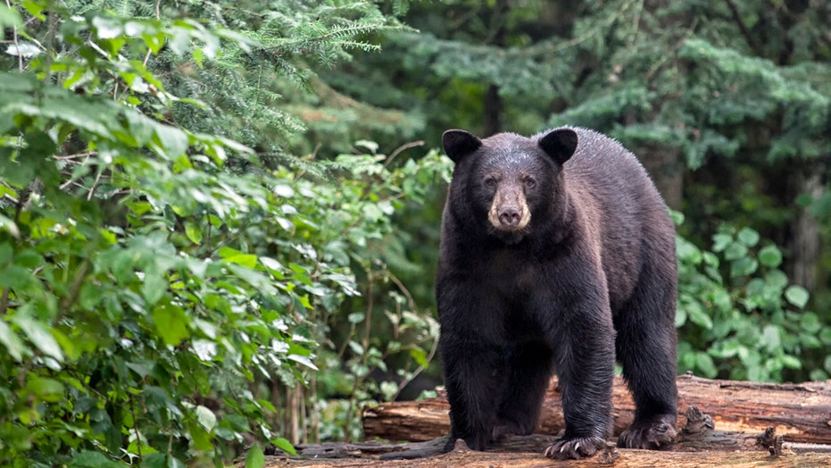Pennsylvania's 2020 bear harvest was sixth-best in state history