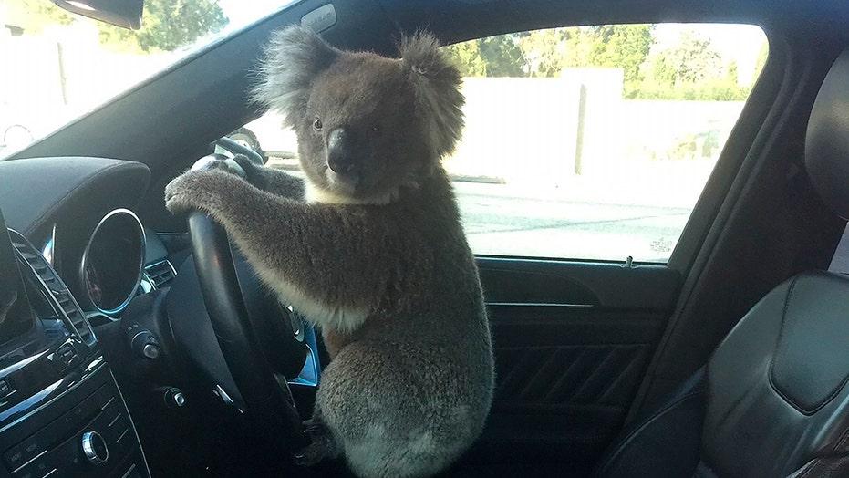 Koala causes 5-car pileup on Australian highway, gets a ride home
