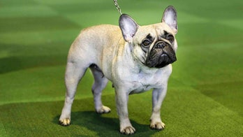 Labrador retriever is still America's favorite breed, but the French bulldog is nipping at its heels
