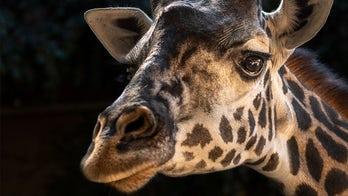 Los Angeles Zoo loses mother giraffe after stillborn calf