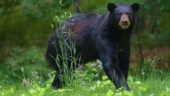 NY bear hunt approaches record year as black bear populations 'prosper'