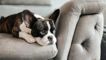 French bulldog owners are afraid for their dogs after high profile dognapping