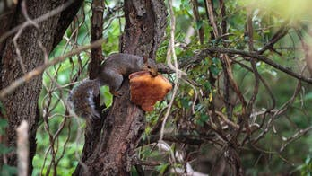 Another pizza-loving squirrel caught eating in a tree adds to growing documented incidents