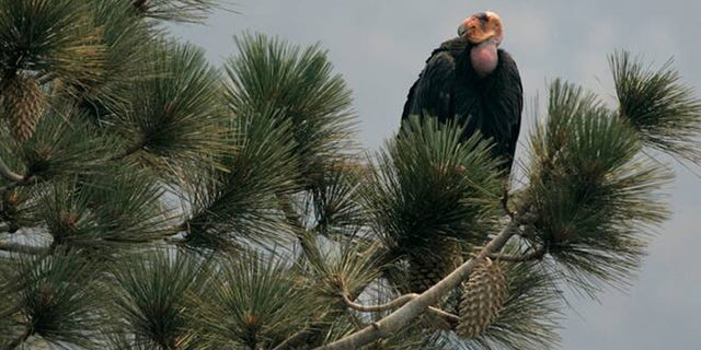 In this Thursday, July 10, 2008, file photo, a California condor is perched atop a pine tree in the Los Padres National Forest, east of Big Sur, Calif. A California wildfire that began Wednesday, Aug. 19, 2020, has destroyed a sanctuary for the endangered California condor in the Los Padres National Forest.