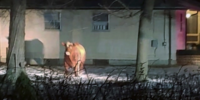 A cow that escaped from the unloading area of a Rhode Island slaughterhouse has been recaptured by its owner nearly two months after first fleeing the facility. In the weeks since,the 1,500-pound steer has been roaming the area around Johnston.