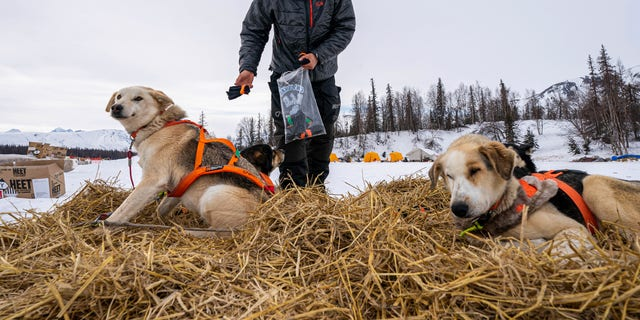 Joar Leifseth Ulsom puts booties on his dogs before leaving the Finger Lake checkpoint on Sunday, March 14, 2021, during the Iditarod, in Alaska. (Loren Holmes/Anchorage Daily News via AP, Pool)