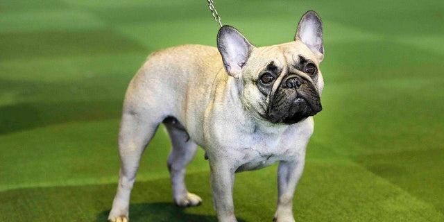 """French bulldogs are continuing to """"skyrocket in popularity,"""" the American Kennel Club announced. (AP Photo/Seth Wenig, File)"""