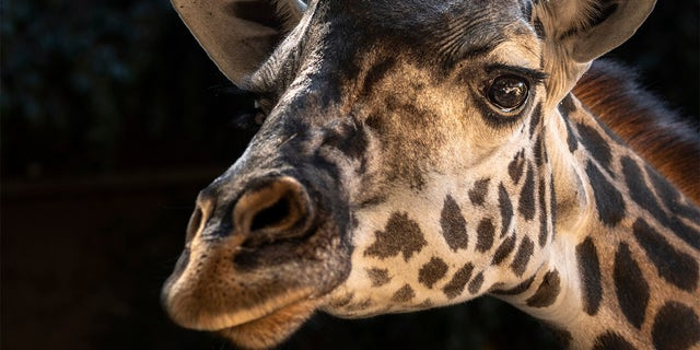 This Oct. 25, 2019 photo provided by the Los Angeles Zoo shows Hasina a Masai giraffe at The Los Angeles Zoo. (Jamie Pham/The Los Angeles Zoo via AP)