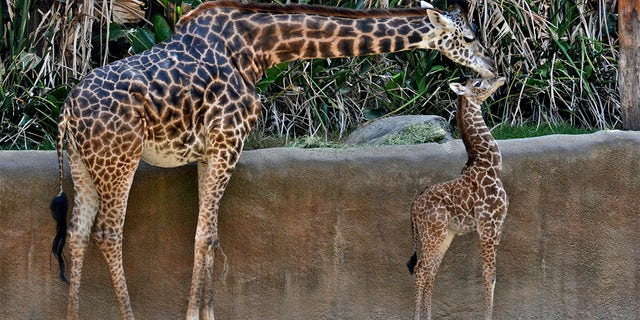 This Oct. 17, 2019 photo photo provided by the Los Angeles Zoo shows Masai giraffe, Hasina and her giraffe calf at their enclosure in The Los Angeles Zoo.  (Tad Motoyama/The Los Angeles Zoo via AP)