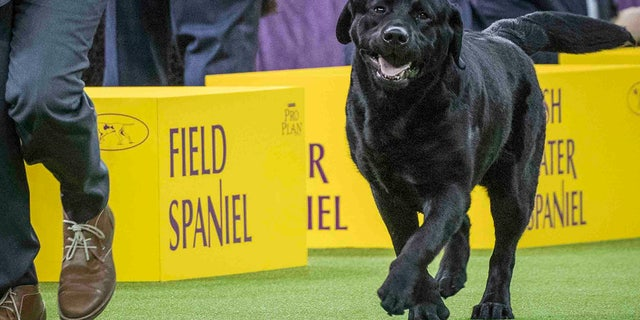 The Labrador retriever is celebrating its 30th straight year at the top of the AKC's list of most popular purebred dogs. (AP Photo/Mary Altaffer, File)