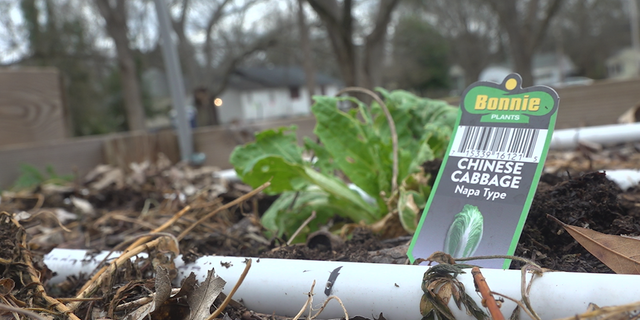 Chinese cabbages growing at the Browns Mill food forest. (Source/FNC Jayla Whitfield)