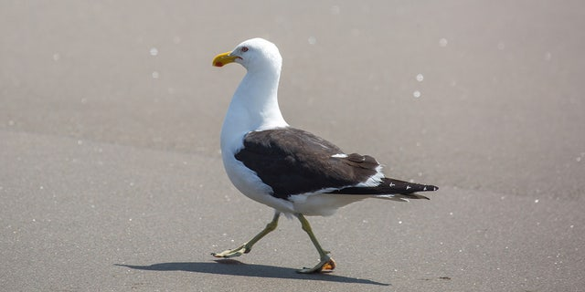 The TikTok user who caught the seagull claims he didn't mean to harm it, and is actually quite scared of birds.