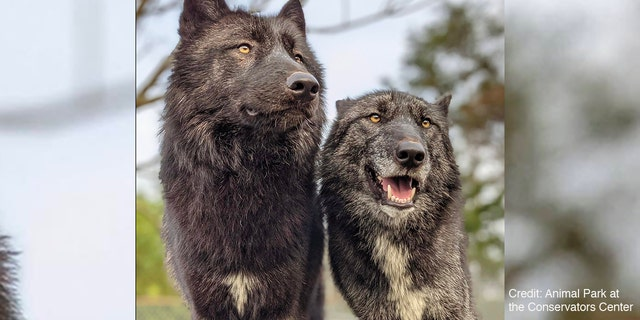 Two wolves from the Conservators Center in Burlington, North Carolina.